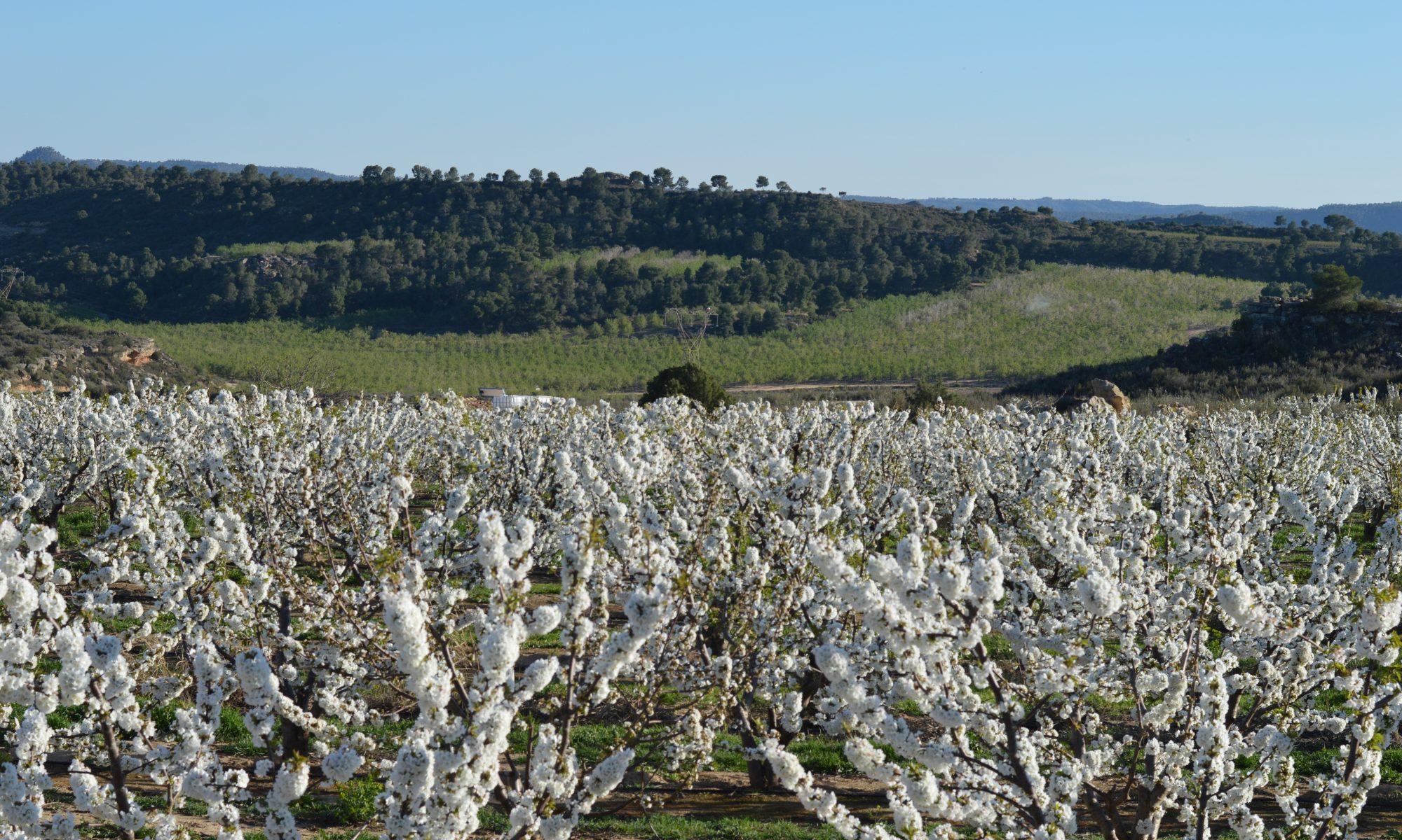 Masatrigos flor campo cerezo