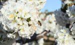 flores abeja cereza 2017